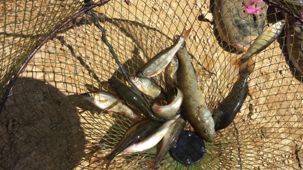 Крошка-гольян – описание рыбы и ее привлекательность для рыбаков