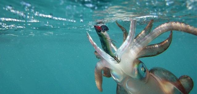 Кальмар тихоокеанский