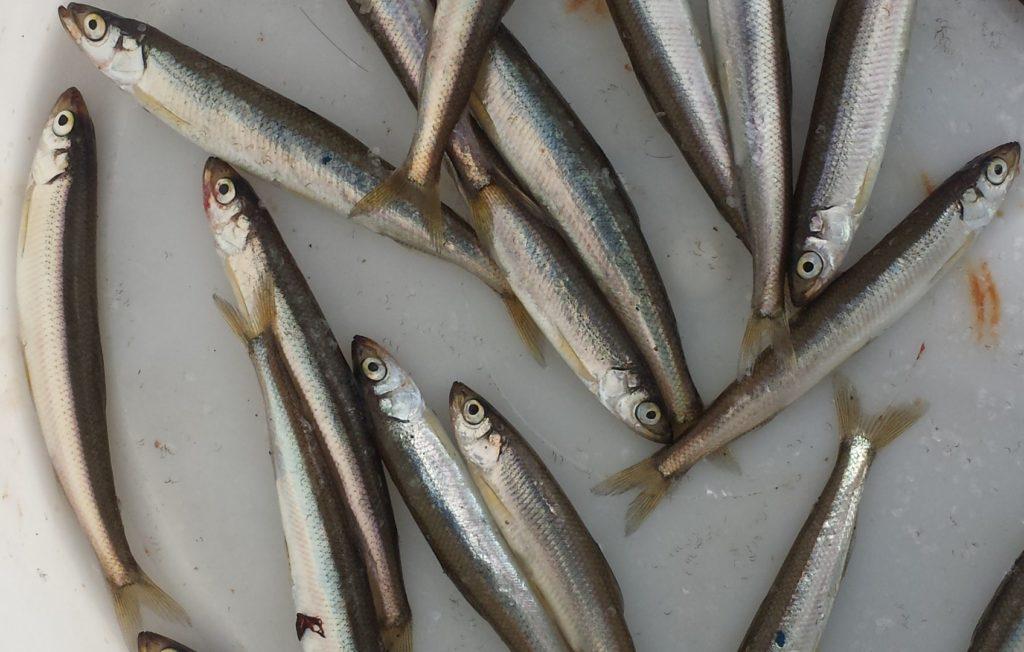 Отчёт от рыбалке с пирса Поспелово, 15 октября 2017